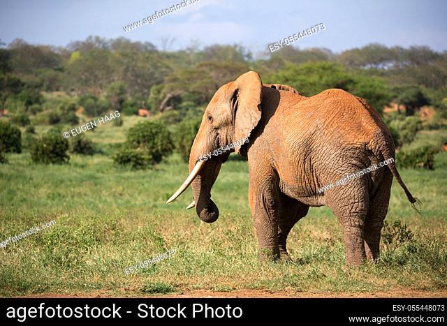 One big red elephant walks through the savannah between many plants