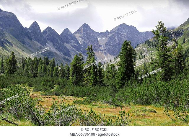 Swiss pines and mountain pines in the Mittertal in Tyrol, view to Mittertalköpfe and Roter Kogl and Wechnerwand