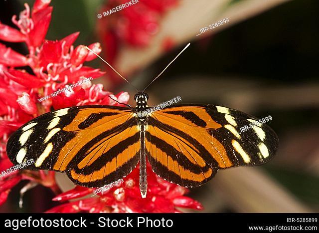 Eueides butterfly, eueides isabella, adult gathers nectar on flower
