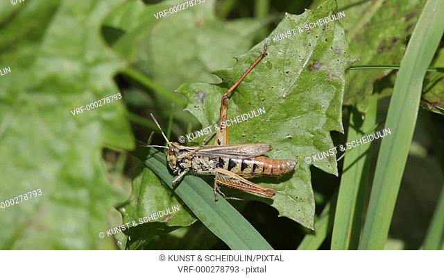 A grasshopper is nibbling at a blade of grass. Noraström, Västernorrlands Län, Sweden