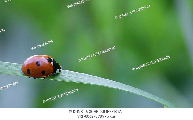 A seven-spotted ladybug (Coccinella septempunctata) is scuttling down on a blade of grass. The leaf moves down with the weight of the beetle, in the end