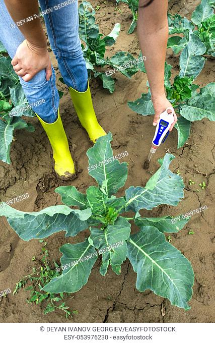 Woman use digital soil meter in the soil. Cabbage plants. Sunny day. Plant care in agriculture concept