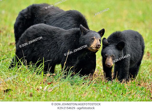 Black bear (Ursus americanus) Mother and cubs foraging for fallen fruit, Great Smoky Mountains NP, Tennessee, USA