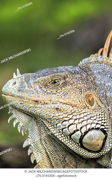 Green iguana (Iguana iguana). Gumbalimba Park. Roatan. Honduras