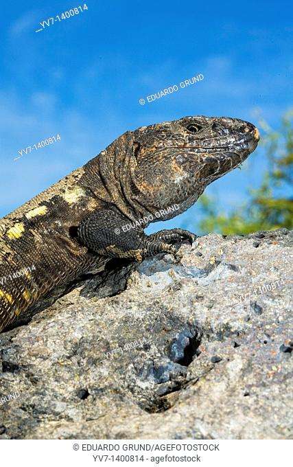 Adult specimen of the giant lizard of El Hierro  Lizard Gallotia of simonyi, place for the study and conservation of endemic lizard of El Hierro  The giant...