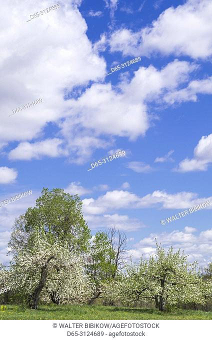 USA, New England, Massachusetts, Bolton, apple trees in bloom, springtime