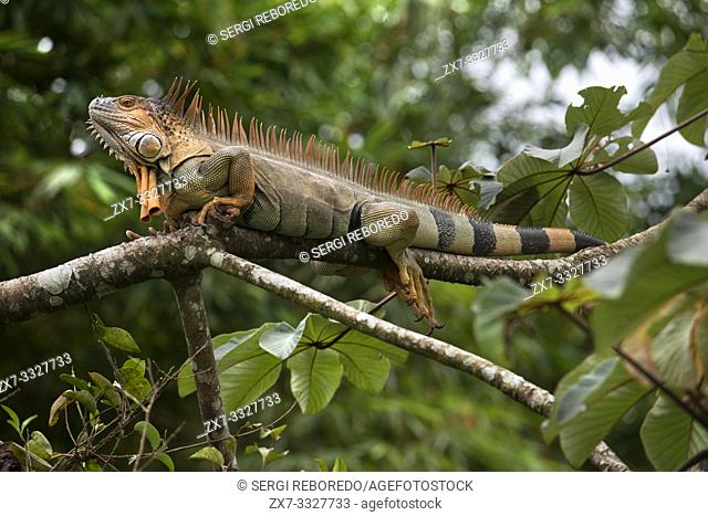 An orange coloured green iguana trails it's tail as it lays on a branch in a tree in the rainforest in Costa Rica