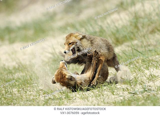 Red Foxes ( Vulpes vulpes ) in hard fight, fighting, aggressive territorial behaviour, rivals, wildlife, Europe