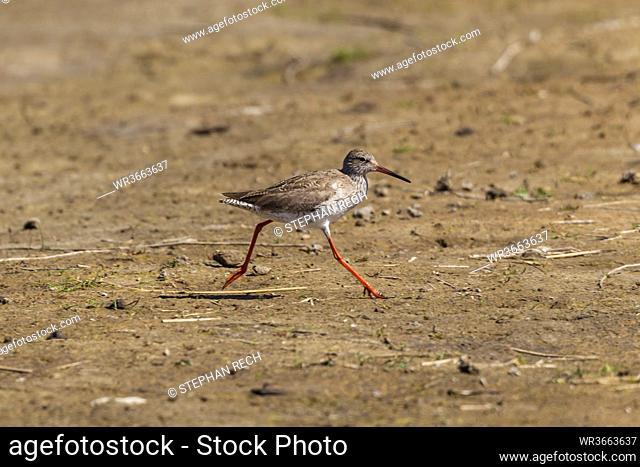 Germany, Schleswig Holstein, Redshank bird perching in soil