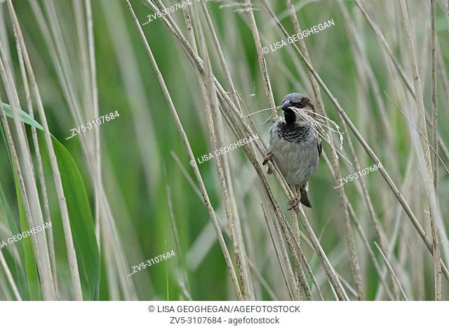 Male House Sparrow, Passer domesticus gathers nest material. Uk