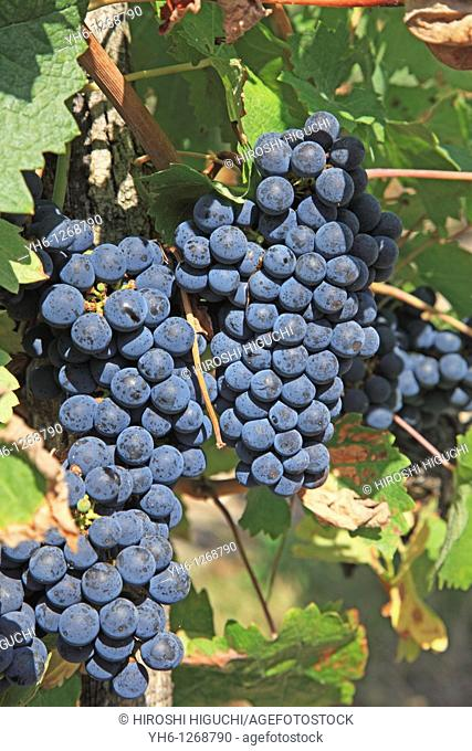 France, Girode, Medoc, Bordeaux vineyards, red wine grapes