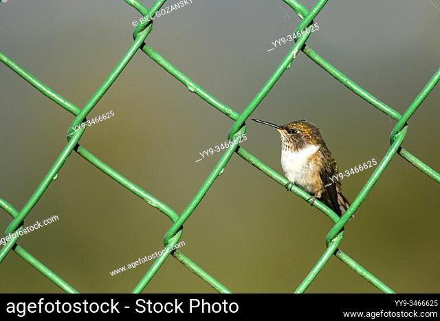 Female Volcano Hummingbird (Selasphorus flammula) - Paraiso Quetzal Lodge, San Gerardo de Dota, San Jose Province, Costa Rica