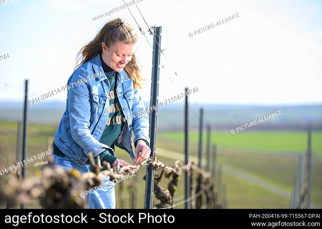 31 March 2020, Rhineland-Palatinate, Biebelnheim: Hanneke Schönhals, winemaker and owner of Weingut Schönhals, bends the rods of the vines