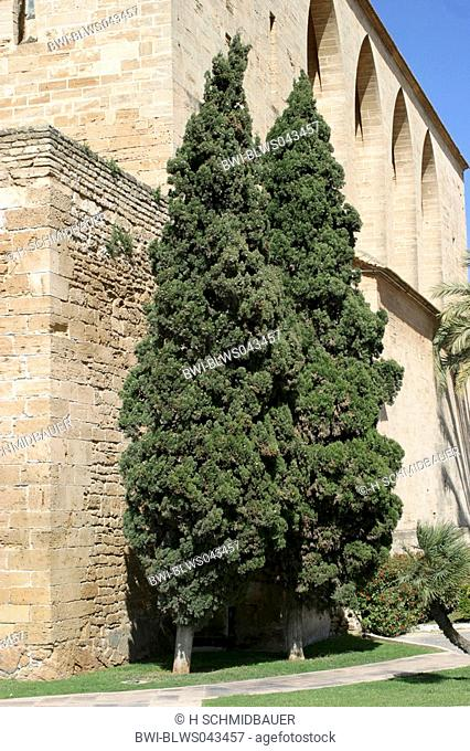 Italian cypress Cupressus sempervirens, two trees in front of a building, Spain