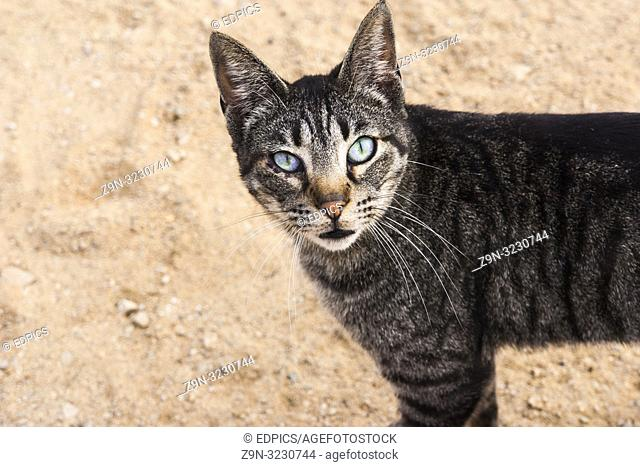 small cat with blue-green eyes, algarve, portugal