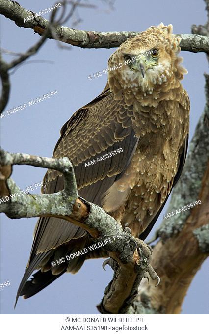 Bateleur Eagle (Terathopius ecaudatus), Juvenile perched near its nest in the Masai Mara Game Reserve, Kenya 11/1/2004