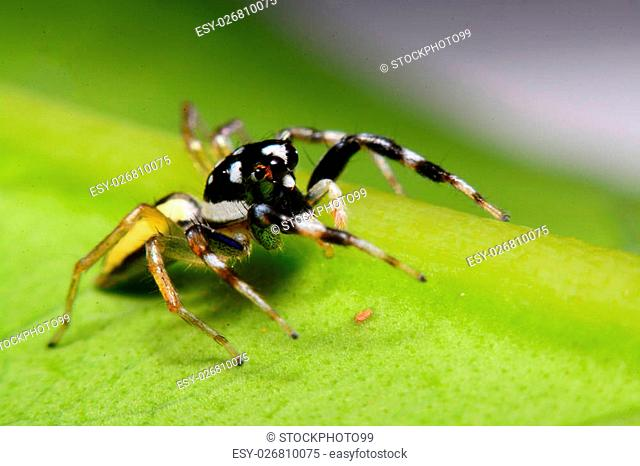 Close-up of a Jumping Spider