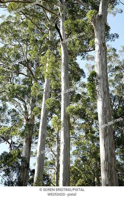 'The Four Aces', a famous stand of Karri trees, Eucalyptus diversicolor, Myrtaceae, Myrtle family, around 300 years old, at Manjimup on Graphite Road