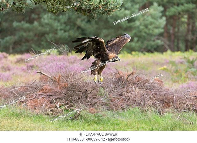 Golden Eagle (Aquila chrysaetos) adult, flying in heathland habitat, August, controlled subject