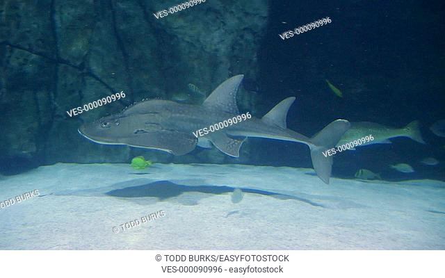 Shark ray swimming in aquarium with other sea life