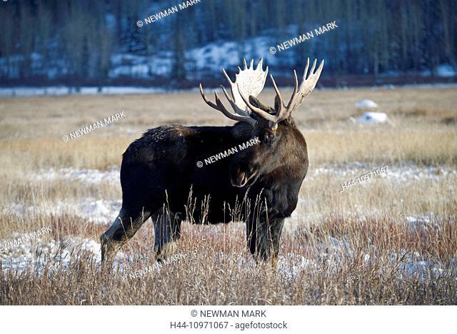 moose, animal, alces alces, Yukon, wildlife, preserve, Canada