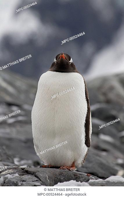 Gentoo Penguin (Pygoscelis papua), Petermann Island, Antarctic Peninsula, Antarctica