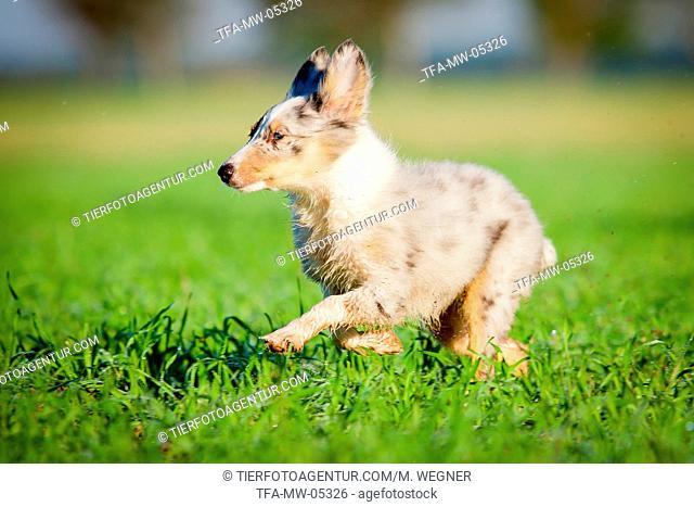 running Shetland-Sheepdog-Mongrel