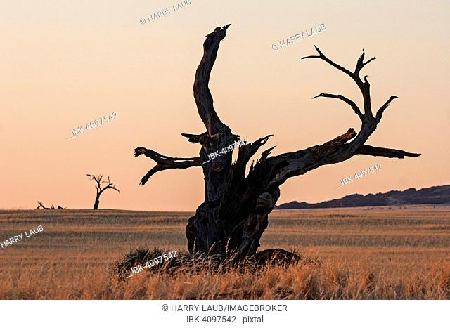 Dead Camel Thorn tree (Vachellia erioloba) at Sesriem Camp, evening light, Sesriem, Namibia