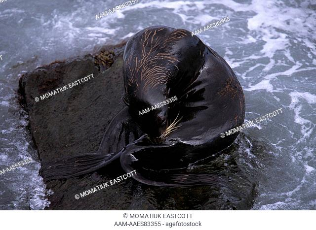 N. Fur Seal, young male grooming (Callorhinus ursinus), St Paul Isl., Pribilofs, AK