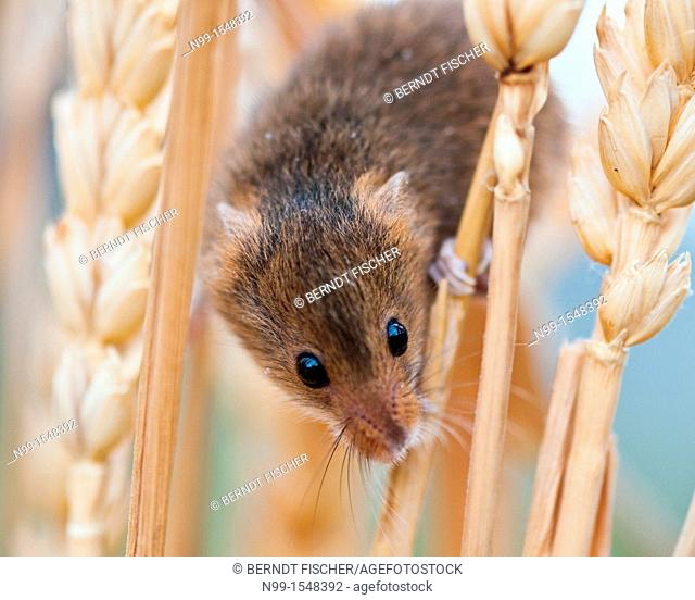 Harvest Mouse Micromys minutus, climbing in wheat, Bavaria