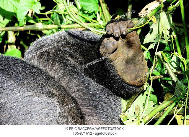 Posterior leg and hand of silverback mountain gorilla male (Gorilla beringei beringei) Virunga National Park, Democratic Republic of Congo, Africa