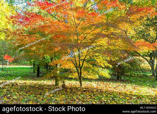 Acer palmatum linearilobum Bodenham Arboretum Worcestershire UK. October 2020