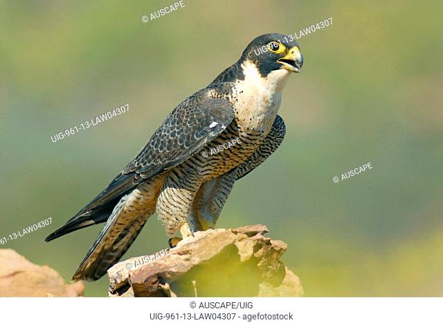 Peregrine falcon on the Leaning Tower, Wongalara Station Reserve, southeast Arnhem Land, Northern Territory, Australia