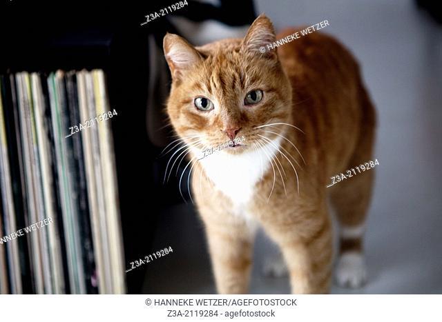 Red cat walking through livingroom and looking