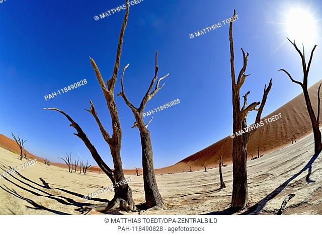Dead tree trunks of acacia trees in Dead Vlei, taken on 01.03.2019. The Dead Vlei is a dry, surrounded by tall dune clay pan with numerous dead acacia trees in...