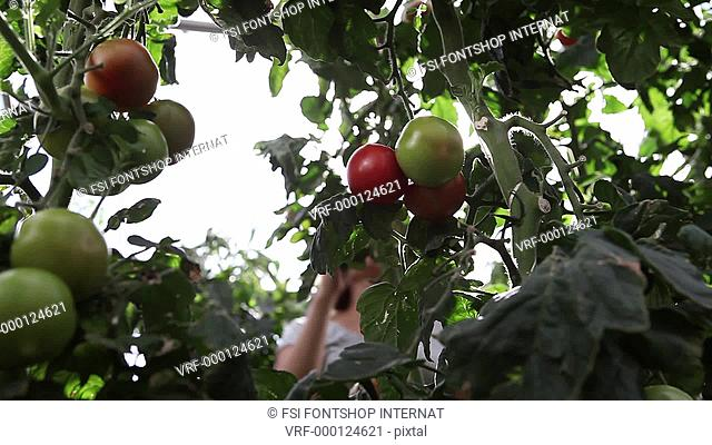 Low Angle View, Lockdown, CU, focus on foreground of a woman picking organic tomatoes