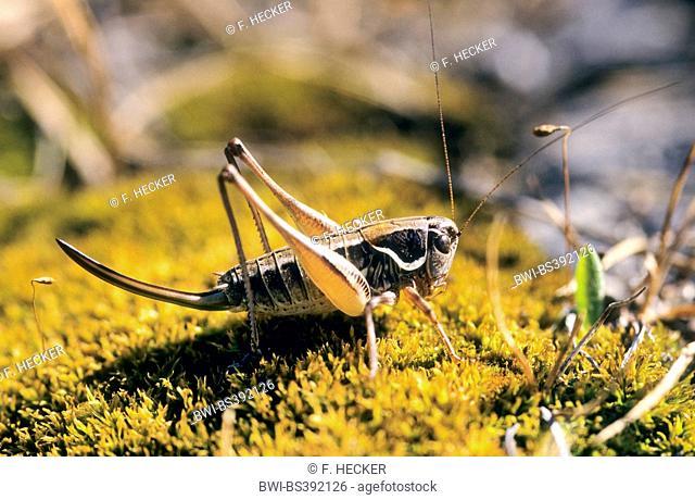 Serbian Pygmy Bush-cricket, Serbian Pygmy Bush cricket (Anterastes serbicus, Anterastes petkovskii), female