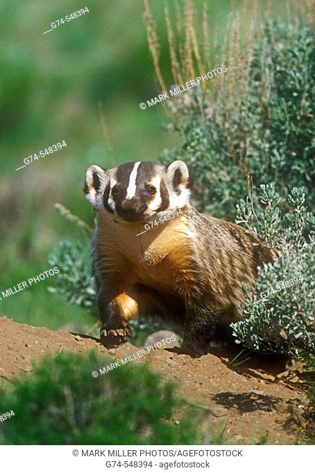 A badger posed by its den in Yellowstone National Park, Wyoming. USA