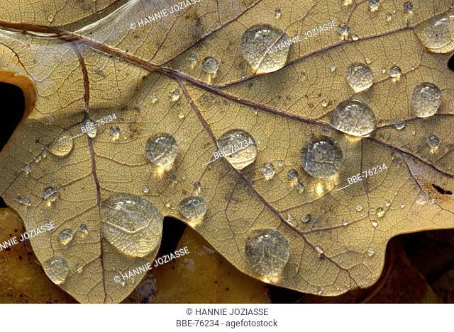Raindrops on an autumn oak leaf