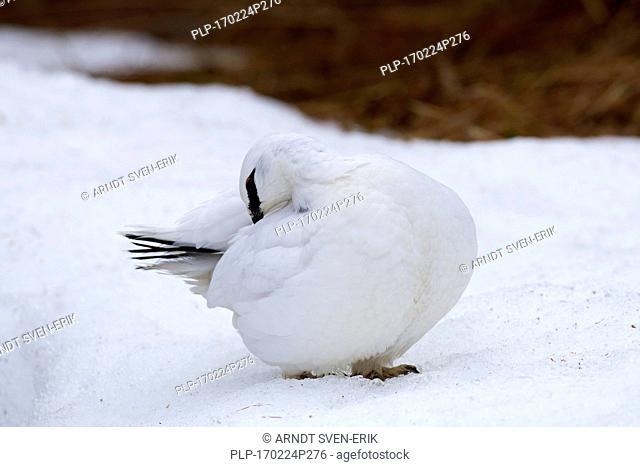 Rock ptarmigan (Lagopus muta / Lagopus mutus) cock in winter plumage preening feathers
