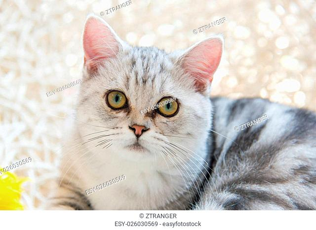 Close up of beautiful american shorthair cat lying on the pet bed