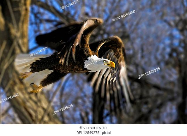 American Bald Eagle (Haliaeetus leucocephalus) taking flight from a tree; Colorado, United States of America