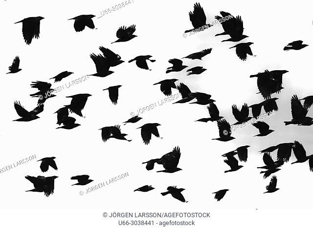Jackdow in flight, Morko, Sodermanland, Sweden