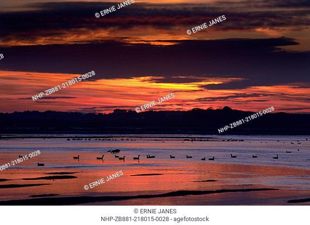 Brent Geese Branta bernicla Morston Harbour Norfolk UK Winter