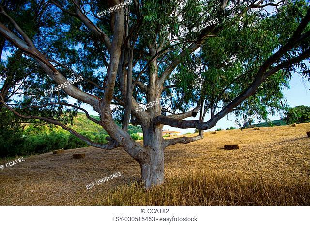 Olive trees plantation on Crete, Greece