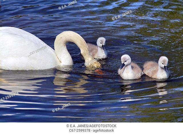 Mute Swan Cygnus olar feeding with Cygnets Salthouse Norfolk