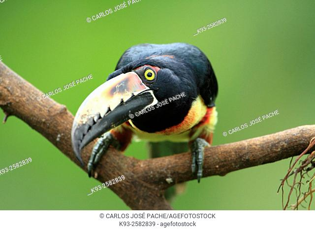 Costa Rica, Nicoya peninsula, Collared aracari (Pteroglossus torquatus) perching on branch