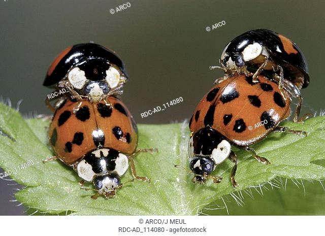 Multicolored Asian Lady Beetles pairs mating Harmonia axyridis Multicolored Asian Lady Bird