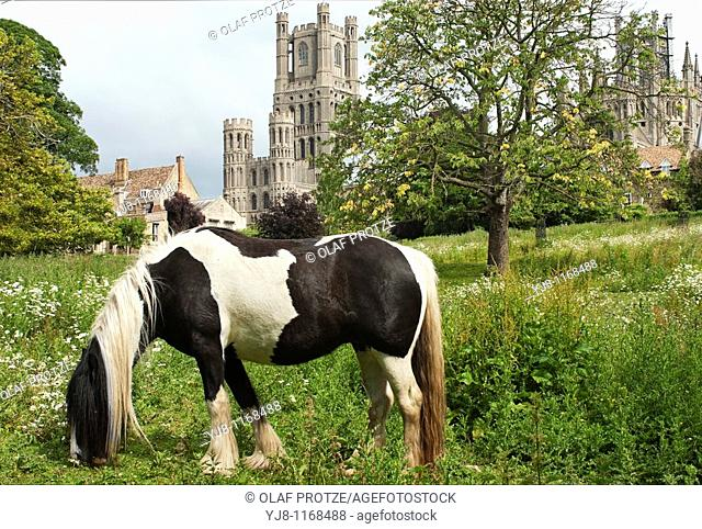 Image Skewbald Pony on a meadow with the Ely cathedral in the background, Ely, Cambridgeshire, England