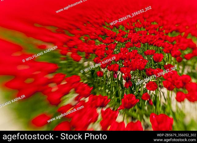 Lensbaby photography of a tulip field in springtime in the Skagit Valley near Mount Vernon, Washington State, USA
